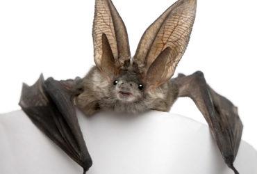 O que seria de nós sem os morcegos?